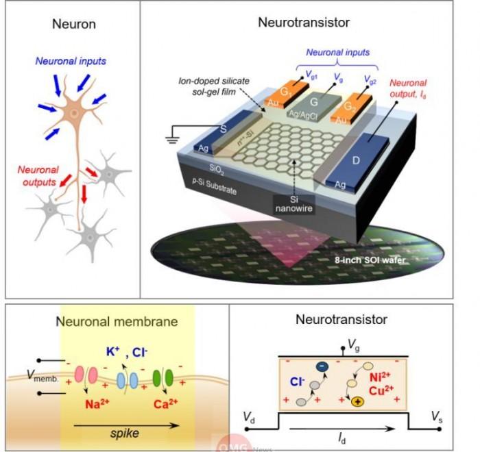 (a) 인간의 신경망 구조 (b) 나노선 트랜지스터 기반 인공 시냅스 소자의 개략도 (c) 인간의 신경망에서의 인지·학습 메카니즘 (다) 개발 뉴로트랜지스터의 인지·학습 원리.jpg