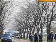 부귀면 주민자치위, 노루목재 벚꽃과 차의 심쿵한 만남 행사