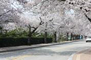 정읍시, 코로나19 여파 벚꽃축제 올해도 취소 결정